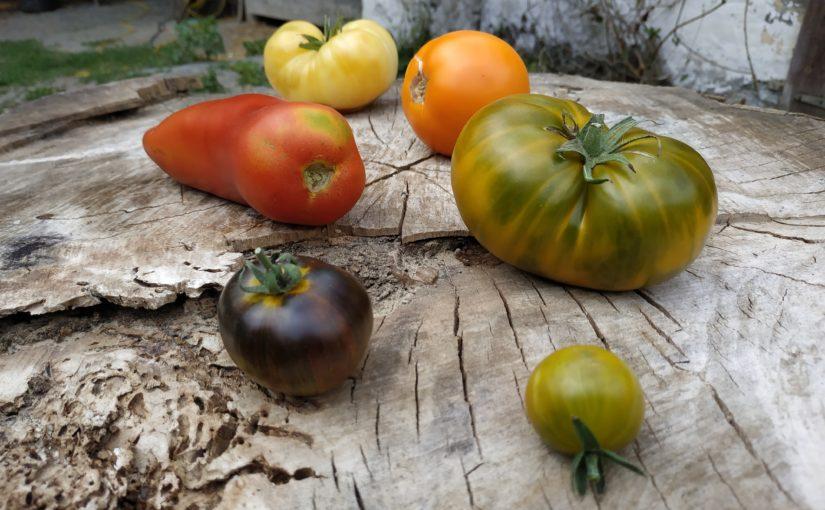 C'est la saison des tomates !