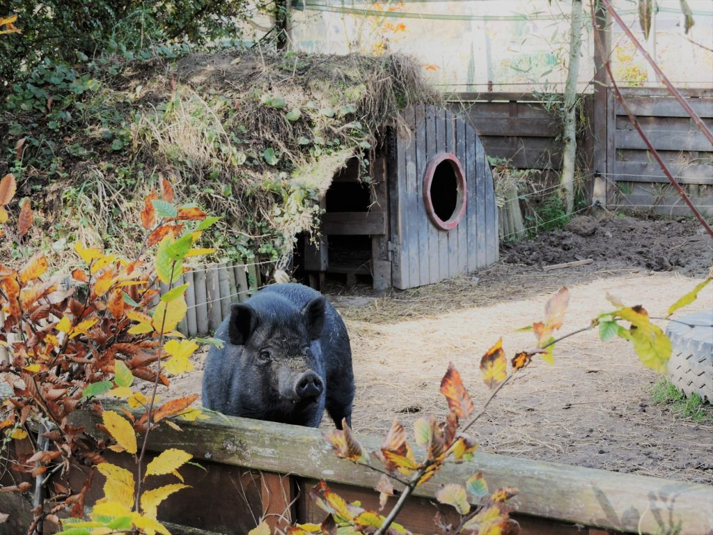 Bilbo - notre cochon vietnamien mâle