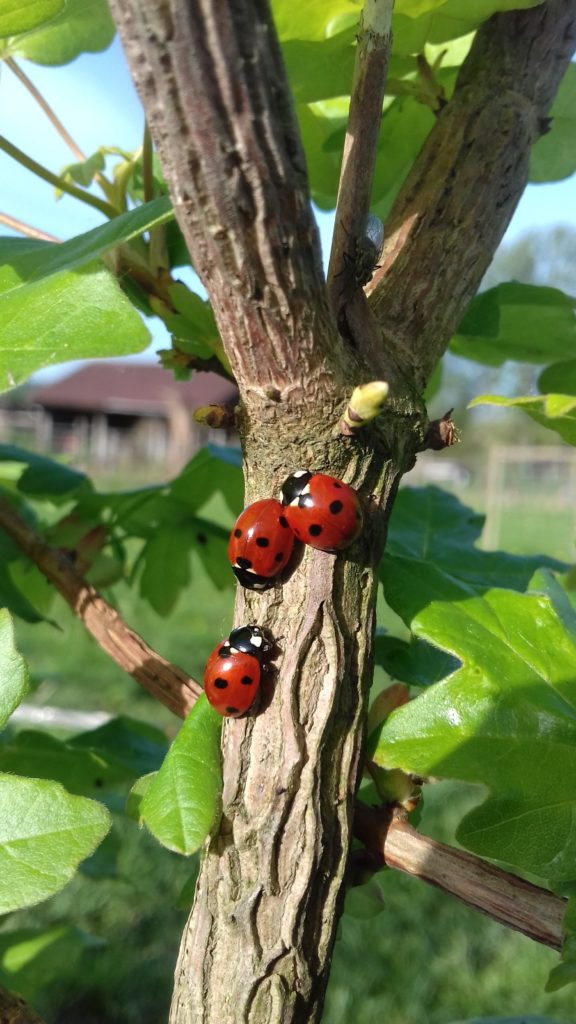 Famille coccinelle