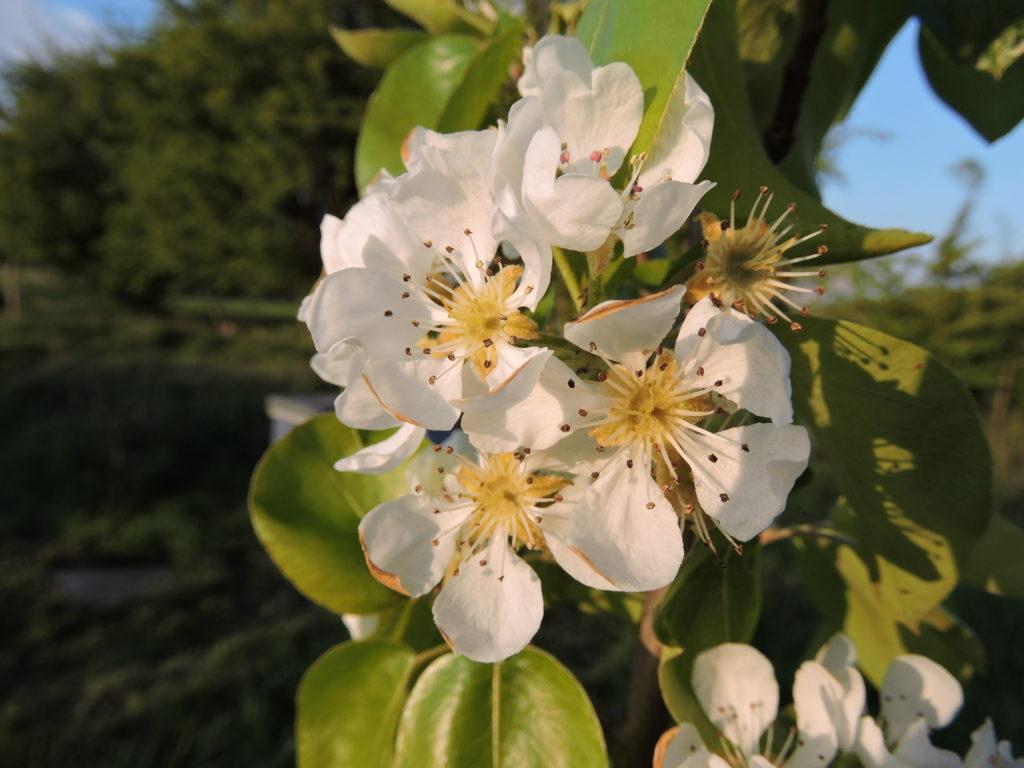 Floraison de Poirier