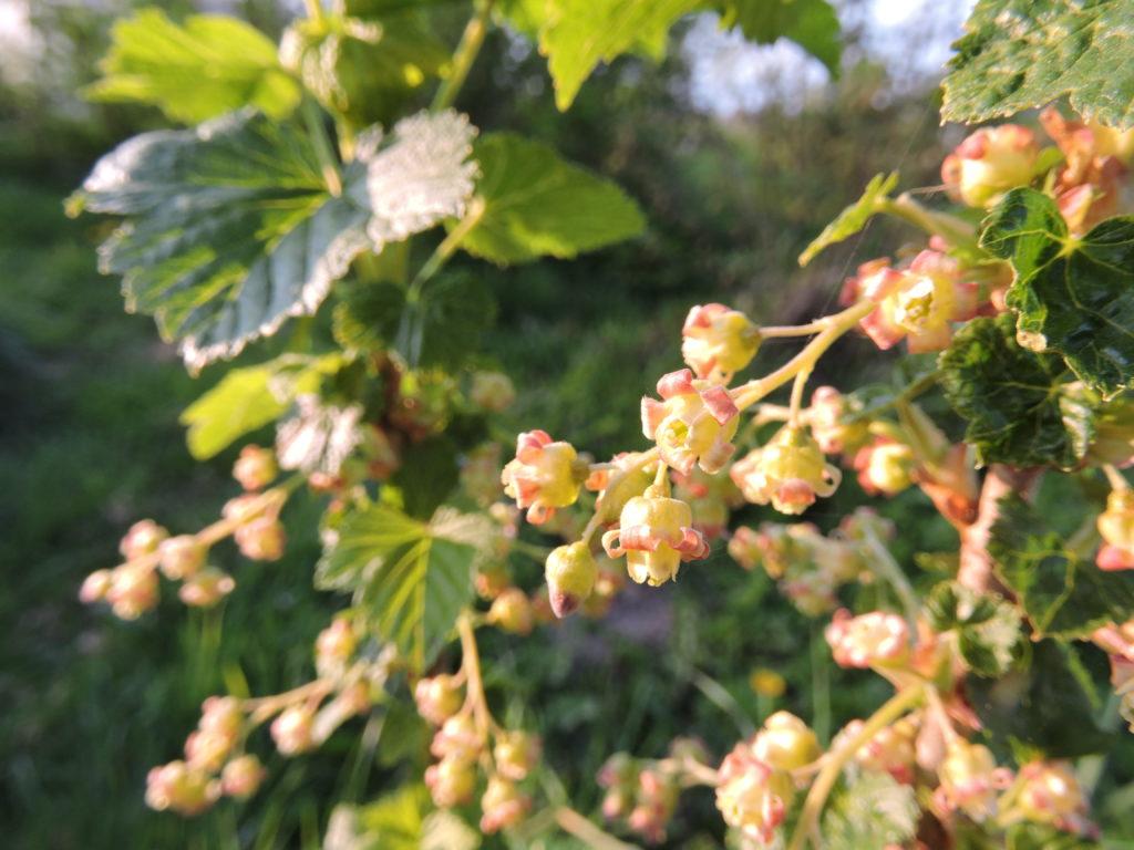 Floraison du Cassissier